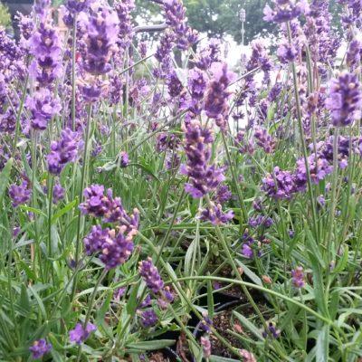 Lavendel (Lavandula officinalis, Syn. L. angustifolia)
