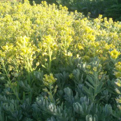 Alyssum montanum 'Berggold' (Berg-Steinkraut)