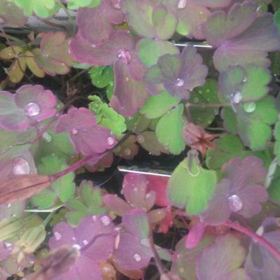 Aquilegia vulgaris (Gewöhnliche Akelei)