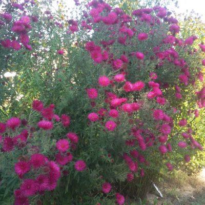 Aster novae-angliae (Symphyotrichum) 'Septemberrubin' (Rauhblattaster)