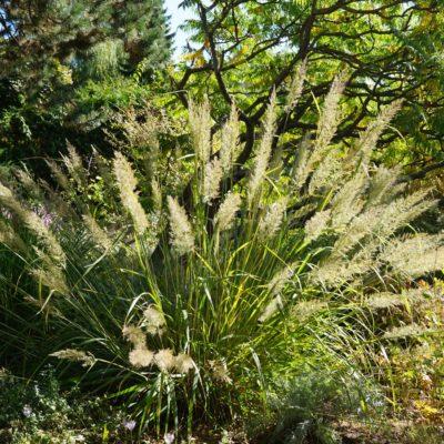 Calamagrostis brachytricha (Diamant Gras)