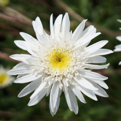 Chrysanthemum maximum 'Christine Hagemann' (Sommermargerite)