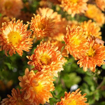 Chrysanthemum x hortorum 'Kleiner Bernstein' (Winter – Aster)