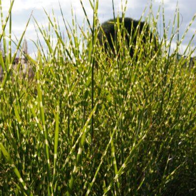 Miscanthus sinensis 'Zebrinus' (Zebra-Gras)