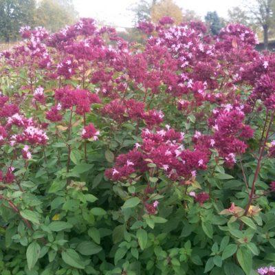 Origanum laevigatum 'Herrenhausen' (Blüten – Dost)