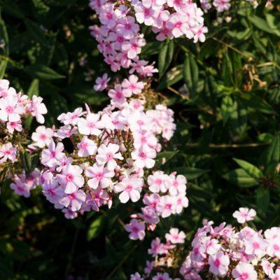 Phlox maculata 'Rosalinde'