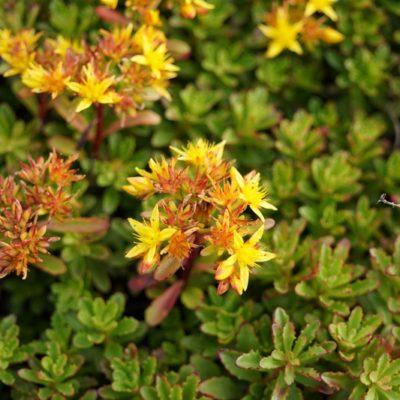 Sedum floriferum 'Weihenstephaner Gold'
